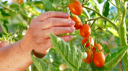 rajčata : Female Gardener Picking Ripe Plum Tomato in Vegetable Garden