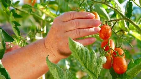 frisches gemüse : Female Gardener Picking Ripe Plum Tomato in Gemüsegarten