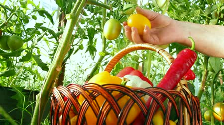 warzywa : Home Gardener Harvest of Fresh Summer Vegetables