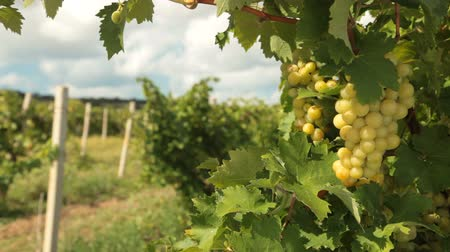 winnica : Muscat White Grapes