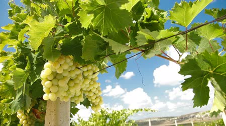 winnica :  Muscat White Vineyard