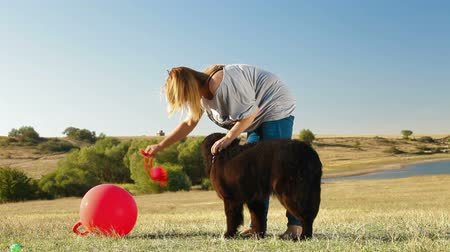 rescue dog : Young Woman Training Newfoundland Dog Outdoor