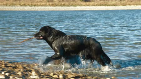 corrida : Newfoundland Dog Enjoying In Water