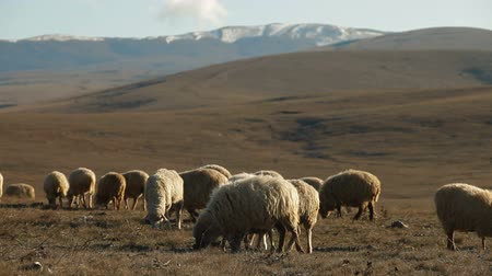 koyun : Flock Of Sheep Grazing On Mountain Plateau