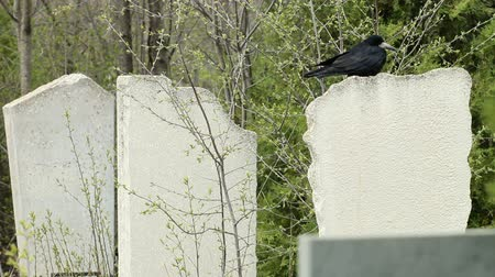 sírkő : Black Crow On Tombstone At The Cemetery Stock mozgókép