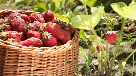 çilek : Basket of strawberries on a personal plot