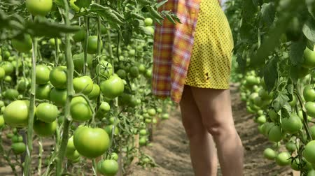 rajčata : Female gardener growing tomatoes in a greenhouse