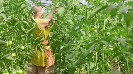 üretmek : Woman gardener cultivates tomatoes in the vegetable greenhouse