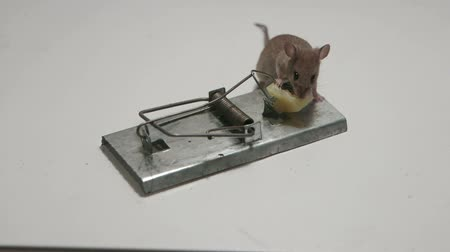 armadilha : Lucky mouse still alive today in a mousetrap. Canon C100, 60i