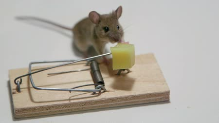 domestic animals : Mouse exposed to the direst dangers by eating cheese in a mousetrap, still alive