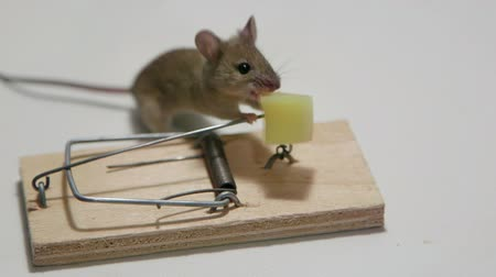 fare : Mouse eating cheese in a mousetrap Stok Video