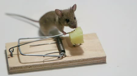 голодный : Hungry mouse eating cheese in a mousetrap Стоковые видеозаписи