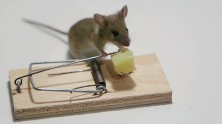 голодный : Survivor mouse eating cheese in a mousetrap