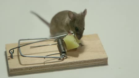 domestic animals : Mouse eating cheese of the trap