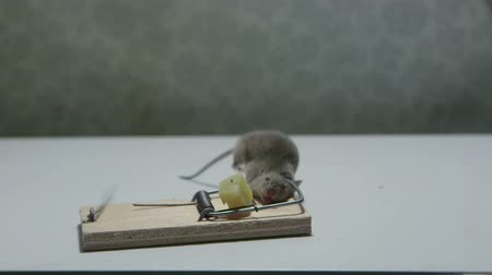 fare : Mouse killed in a mousetrap Stok Video