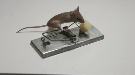 trigger : Risky little mouse eating cheese of the mousetrap Stock Footage