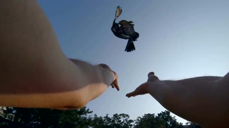 gołąb : SLOW MOTION: Male hands released pigeons into blue sky