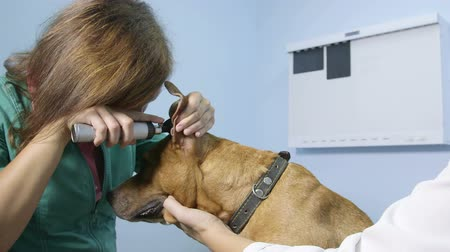 kulaklar : Veterinarian Examining Dog At Vet Clinic