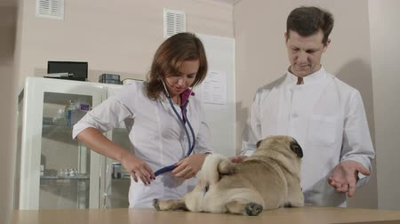 evcil hayvanlar : Friendly Vets Examining Pug Dog