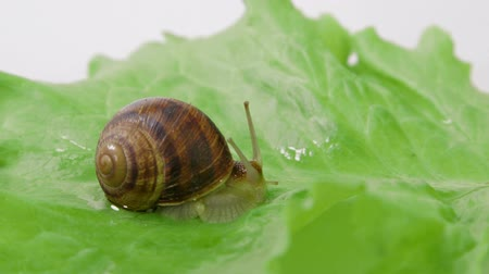 caracol : Snail shot out its horns on green leaf of lettuce