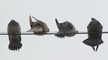 pigeon nest : Dovecote doves perched on a wire