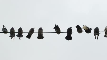 kable : Dovecote doves perched on a wire