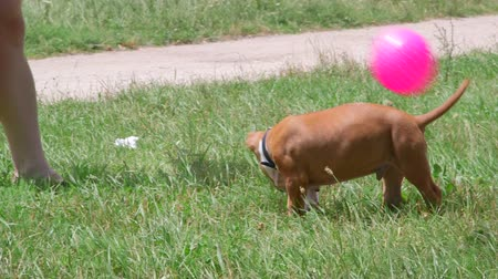 дружба : Owners playing ball with a funny american staffordshire terrier puppy dog