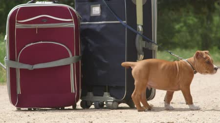 perdido : Puppy dog tied to suitcases