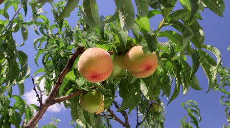 фрукты : Ripe peaches on the tree branch against blue sky pan shot