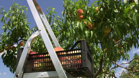 brzoskwinia : Harvest peaches in the orchard