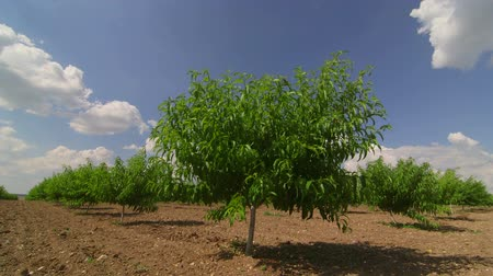 pomar : Rows of fruit trees in peach orchard Vídeos