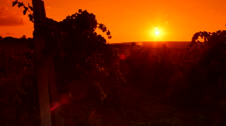 долина : Glowing red sun in the sky over vineyard valley