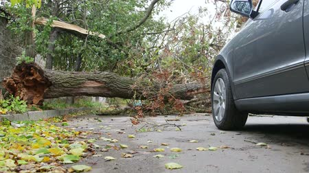 caído : Damaged fallen tree on road after strong storm in autumn