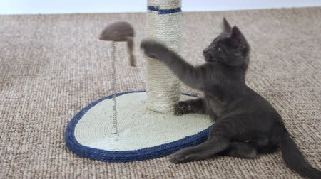 grey cat : Cute kitten playing with mouse toy on scratching post Stock Footage