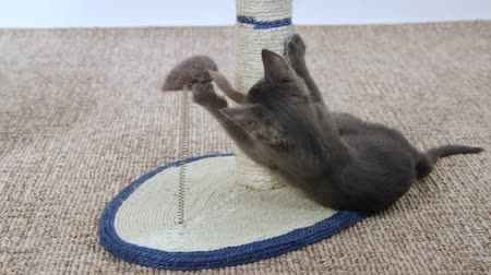 kotě : Cute grey kitten playing with mouse toy attached to scratching post Dostupné videozáznamy