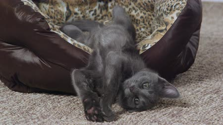 kotě : Cute gray kitten yawning and stretching in cat bed