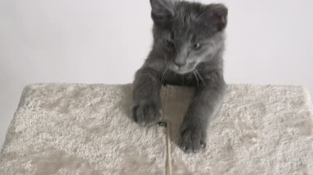 grey cat : Cute grey kitten climbing up cat tree platform
