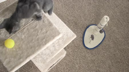 grey cat : Cute gray kitten climbing up and down cat scratcher tree playing with ball Stock Footage