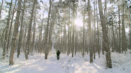 один человек : Man walking in the snow through the winter morning forest sun shining between the trees