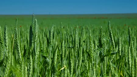pszenica : Green Wheat Field And Blue Sky, Dolly Shot Wideo