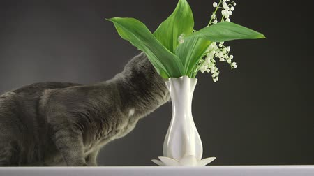 gato selvagem : Cat trying to eat lily of the valley at home most toxic plant for cats