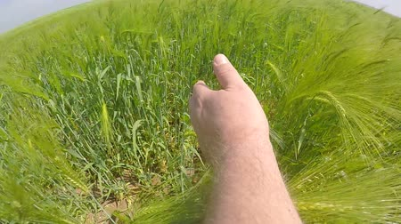 přešel : SLOW MOTION: Farmer runs a hand through ripening green ears of wheat in summer field