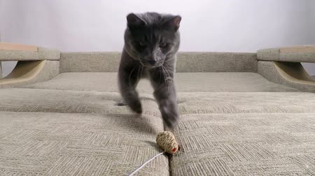 british cat : Slow motion of domestic cat showing hunting instinct playing with toy mouse