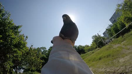 fancier : Slow motion of man holding dove in his hands against the sun releasing pigeon into the sky Stock Footage