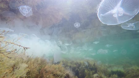 vida : Bloom of moon jellyfish aurelia aurita drifting in warm sea water
