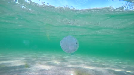 sandy waters : Blue barrel jellyfish Rhizostoma pulmo floating in sandy shallow waters of Black Sea near the Crimea northwest shore