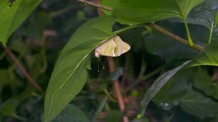 avoiding : Slow motion of butterfly sheltering from the rain under a green leaf Stock Footage