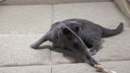 kotě : Slow motion of playful young cat playing with mouse toy on a string Dostupné videozáznamy