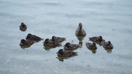 ducky : Duck with ducklings on the lake in the rain. 4K video. Stock Footage