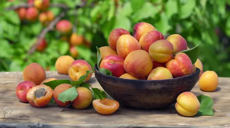 Harvest ripe apricots in a wooden bowl against a background of apricot trees on a sunny summer day. Macro shot.